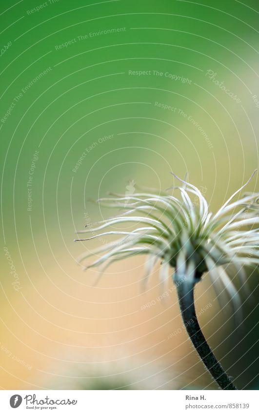 puschel Pflanze Sommer natürlich Garten Vergänglichkeit Samen Clematis