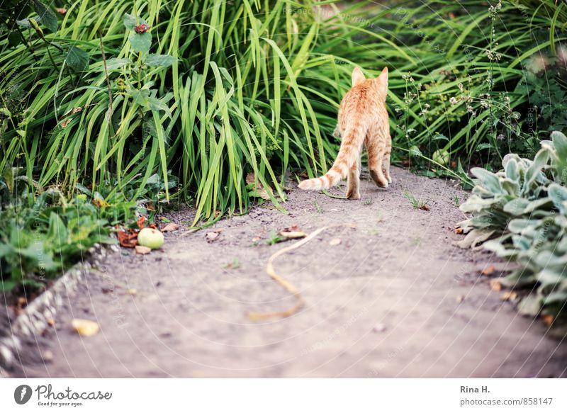 Streuner Sommer Pflanze Gras Garten Wege & Pfade Katze gehen natürlich Sandweg Gartenweg Herumtreiben pirschen schleichen Farbfoto Außenaufnahme Menschenleer