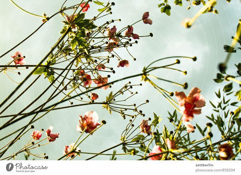 Anemone hupehensis Anemonen Berlin Blume Blüte Garten Himmel Schrebergarten Kleingartenkolonie Sonne Wetter Wolken Froschperspektive Stengel Herbstanemone Licht