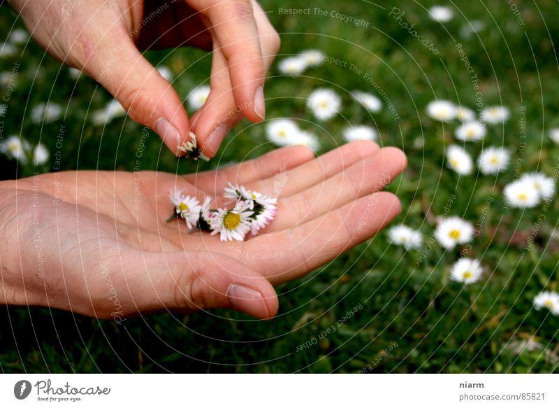 Blümchenfotografie 3 Wiese grün Gans Gänseblümchen Frühling Streicheln Hand berühren März April Mai Blüte Blume Blumenwiese schön Kitsch Alm Gras Zärtlichkeiten