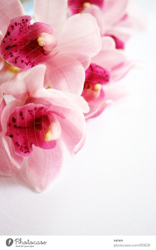 Orchidee Romantik rosa rot lieblich zart Spielen Blume geschmeidig zerbrechlich zierlich weich Gefühle Schwärmerei Makroaufnahme Nahaufnahme gemalt edel elegant