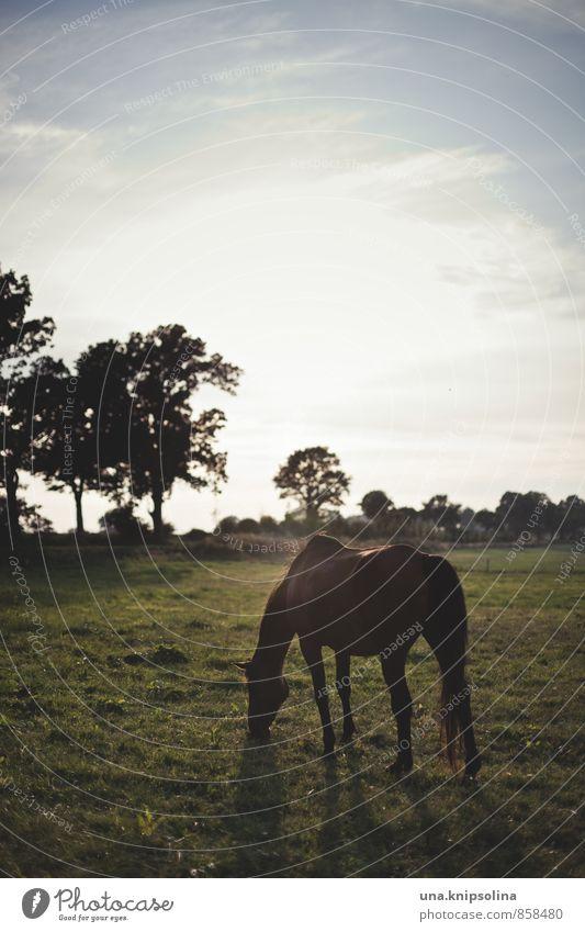 kieler gegenlichtpferdchen Natur Landschaft Himmel Schönes Wetter Baum Wiese Feld Tier Pferd 1 Fressen stehen frei natürlich wild Sonnenuntergang Weide Farbfoto
