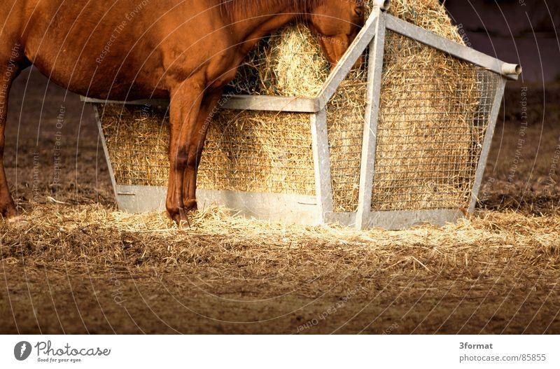 eingeschlafen Pferd stehen Weide Fressen Säugetier Aufenthalt Futter Stroh