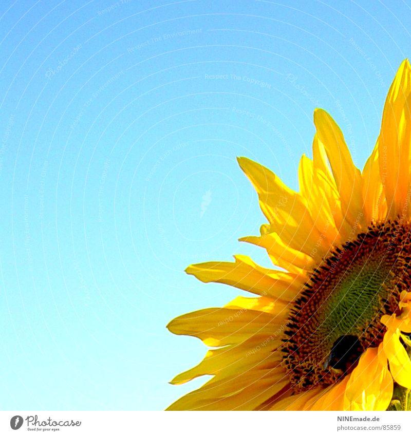 sonniges Blümelie ... mit Hummelsche Natur Himmel Sommer Freude gelb Blüte Wärme Physik Duft Sonnenblume Sammlung Fressen Bioprodukte Biologische Landwirtschaft