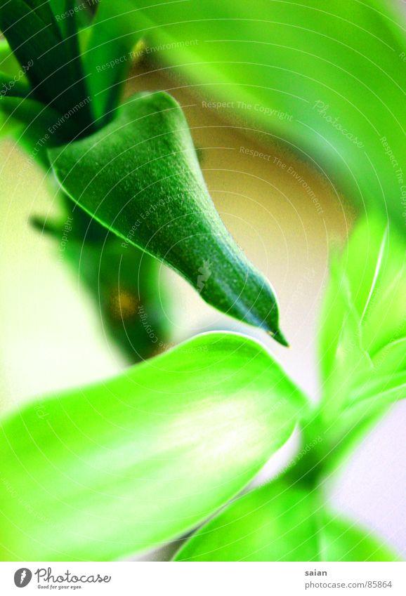 Bambus grün Pflanze Wachstum Pflanzenteile Gras Makroaufnahme Nahaufnahme Bambusrohr Natur Rasen