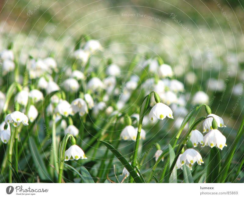 Frühlingsmeer Natur weiß grün schön Pflanze Blume Umwelt Wiese Frühling Wachstum viele Blühend Duft hängen Blumenwiese Frühlingsgefühle