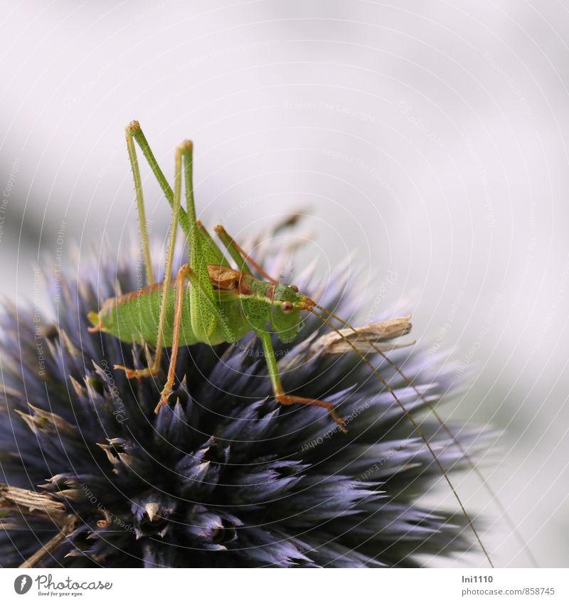 Heupferd auf Kugeldistel Natur blau Pflanze schön grün Sommer Tier schwarz Umwelt gelb Leben grau außergewöhnlich Garten braun Park