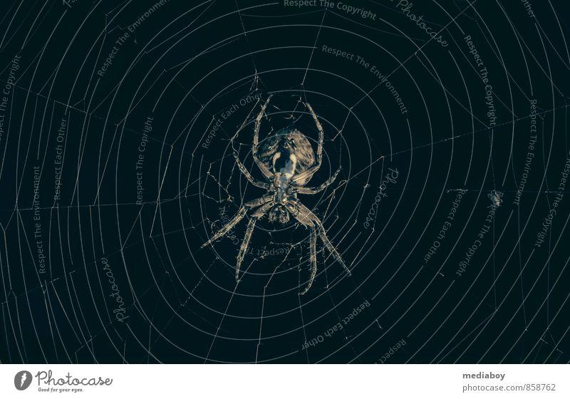 and the spiderman is always hungry Tier schwarz dunkel Tod braun Angst warten gefährlich bedrohlich beobachten niedlich Vergänglichkeit planen Netz Appetit & Hunger gruselig