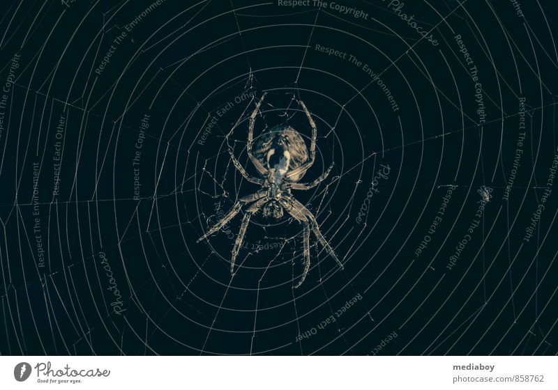 and the spiderman is always hungry Tier schwarz dunkel Tod braun Angst warten gefährlich bedrohlich beobachten niedlich Vergänglichkeit planen Netz