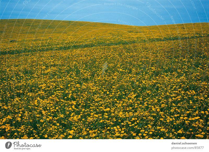 Frühling !!! Sommer Löwenzahn Blüte Blume Blumenwiese Freizeit & Hobby Hintergrundbild gelb grün hell-blau schön abstrakt Horizont Wiese Erholung Wetter Gras
