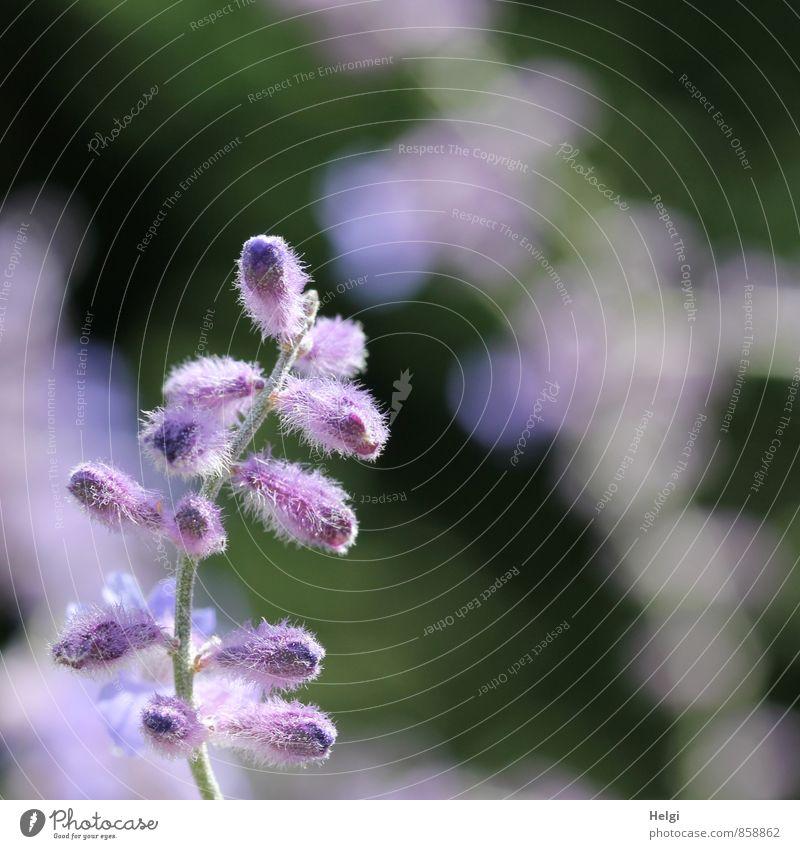 Blümchen für Ini... Umwelt Natur Pflanze Sommer Schönes Wetter Blume Blüte Blütenknospen Garten Blühend Wachstum ästhetisch schön natürlich grau grün violett