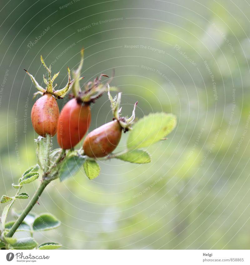 Trio... Umwelt Natur Pflanze Herbst Schönes Wetter Sträucher Blatt Wildpflanze Frucht Fruchtstand Hagebutten Rose Park Wachstum ästhetisch einzigartig klein