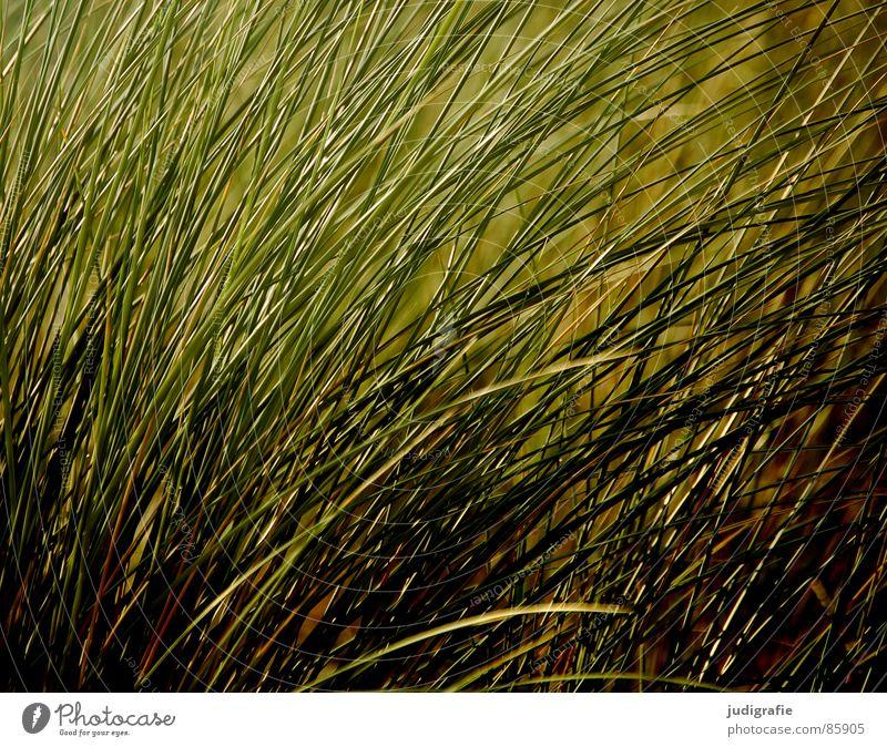 Gras biegen Halm Sturm weich Haarsträhne Wachstum Umwelt Wiese dunkel Wildnis grün Stengel beweglich zart Sommer Wind Natur Abend Ostsee starker wind