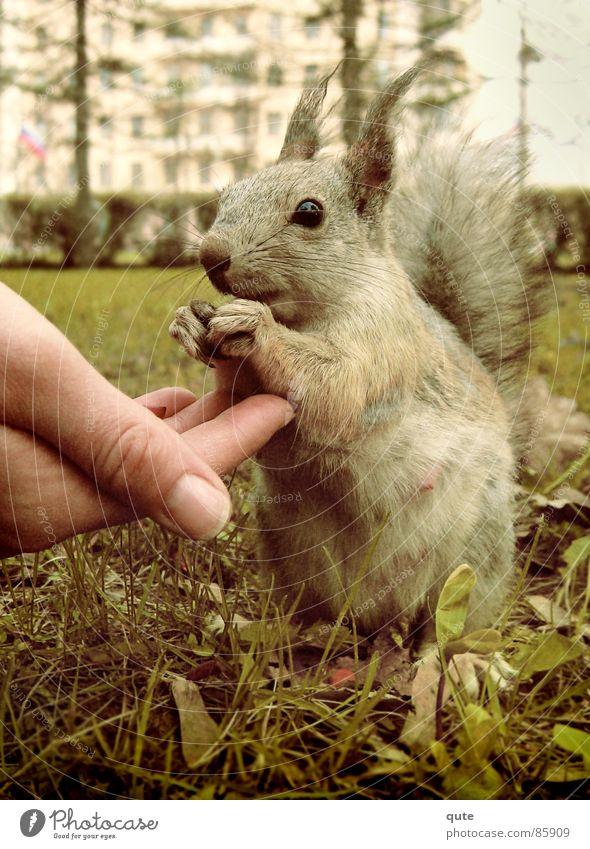 Eichhörnchen Hand Tier Säugetier squarrel Feh eating grass ground animal cute mammal