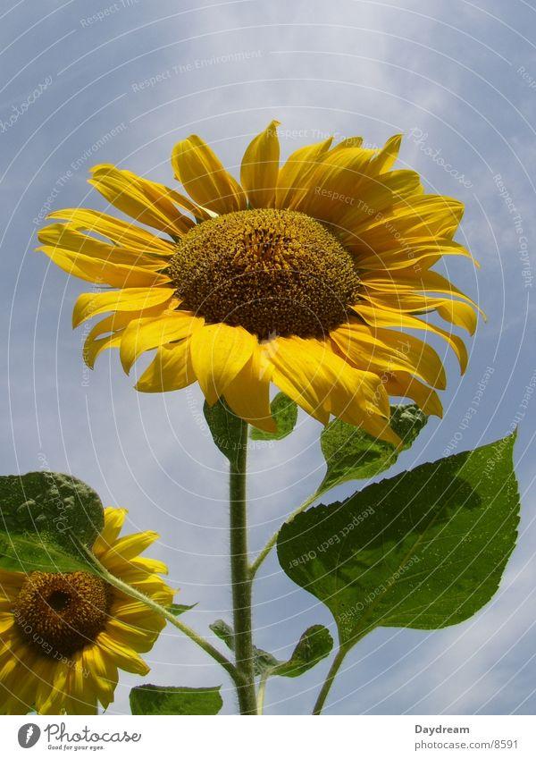 Der Sonne entgegen Sonnenblume Blume gelb Sommer Himmel blau