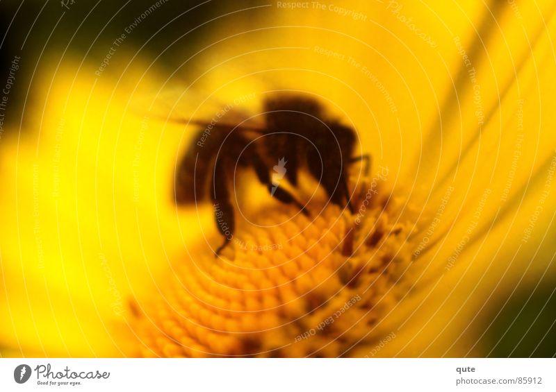 Bee gelb Biene Blume Honig Makroaufnahme Nahaufnahme bee flower honey Fressen