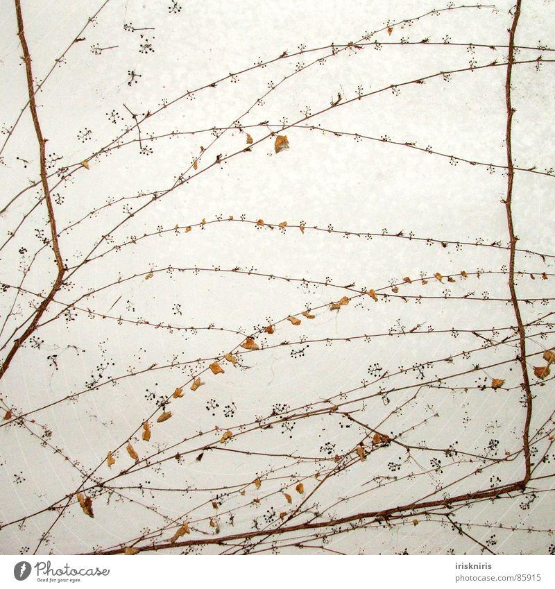 Wirrwarr Wand Efeu Wilder Wein Ranke durcheinander Wachstum Herbst Wandteppich Vergänglichkeit Ast Decke Wurzel Punkt anwachsen verblüht Maske festwachsen