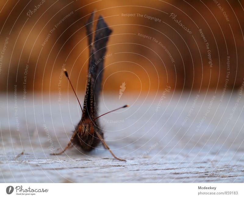 Pause Natur Sommer Tier Wildtier Totes Tier Schmetterling sitzen warten authentisch frei kaputt nachhaltig trocken blau braun mehrfarbig grau orange schwarz