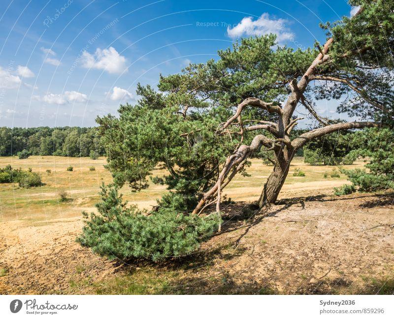Kiefer nach dem Sturm Erde Sand Himmel nur Himmel Wolken Klima Wetter Schönes Wetter Wind Pflanze Baum Gras Sträucher Wildpflanze Wald bizarr Baumrinde