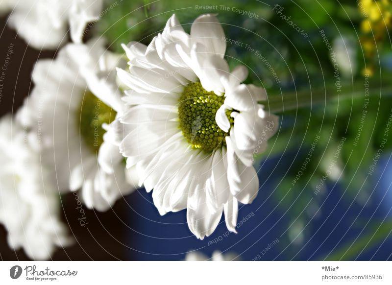 Margerite, die Blume grün weiß Sonnenstrahlen Pflanze Blumenstrauß Frühling Wachstum hell Duft