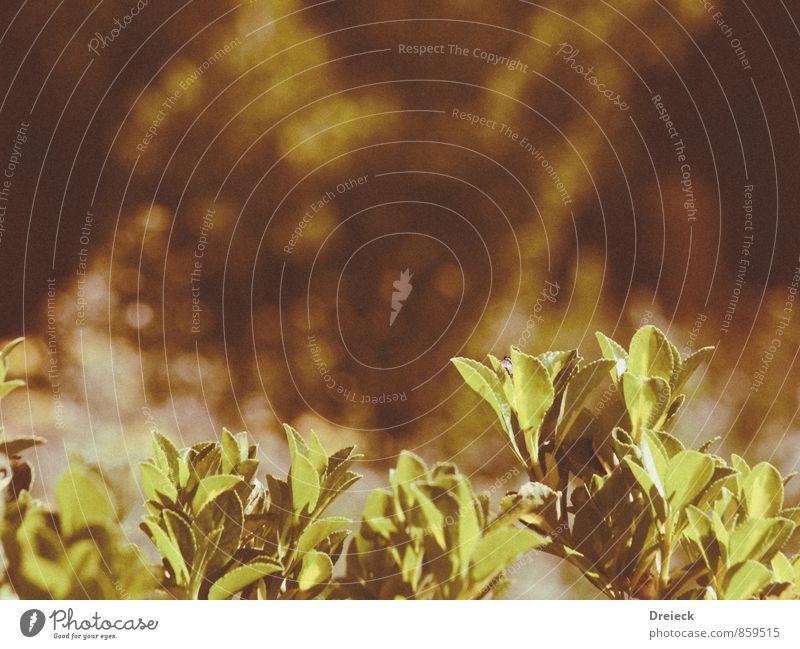 gelbgrün Umwelt Natur Pflanze Sommer Grünpflanze braun gold orange Farbfoto Außenaufnahme Schwache Tiefenschärfe
