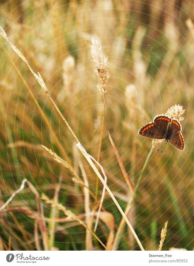 kleiner Falter Natur grün Sommer Tier Umwelt Wiese Herbst Frühling klein braun Feld fliegen Weide Schmetterling Sonnenbad leicht