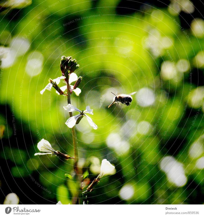 Im Anflug Natur Pflanze Sommer Blume Tier Wiese Blüte fliegen Biene Grünpflanze Wildpflanze