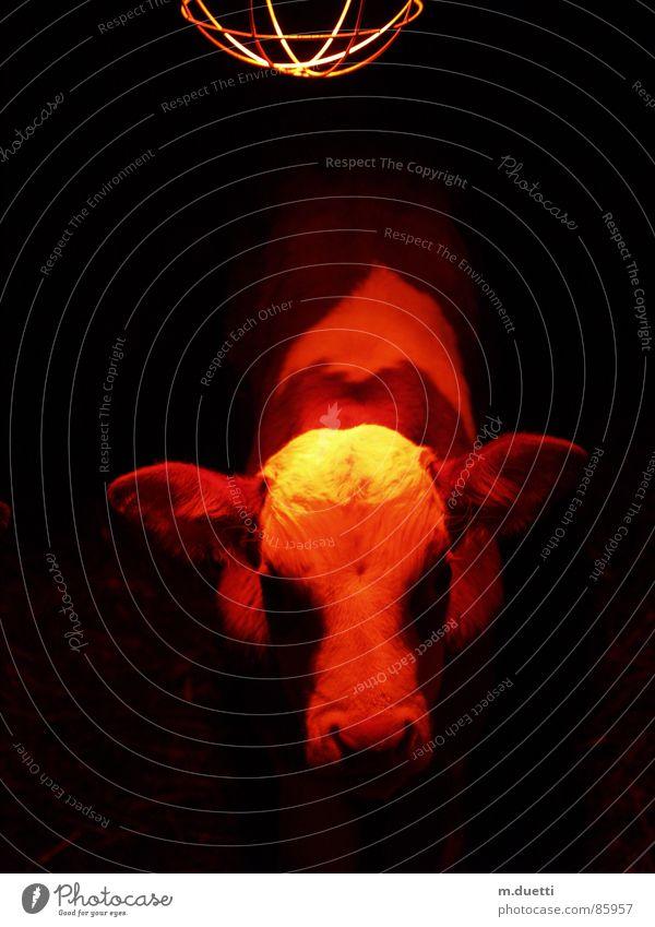 Kälbchen Tier Wärme Kuh Säugetier Ampel Bulle Kalb