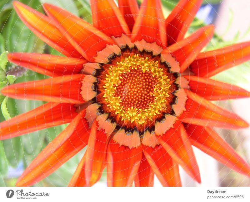 Mittagsblume rot Blatt Blüte Stempel Makroaufnahme Mittagsblumen