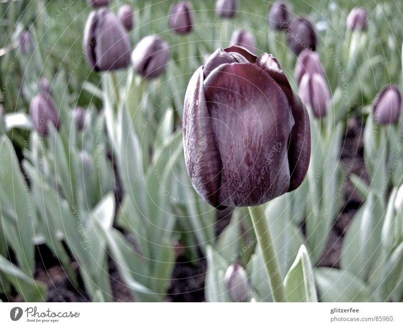 tulpenmeer Tulpe Pflanze Feld Blüte schwarz rot grün Trauer Frühling Sommer Blumenbeet Niederlande Fee Blütenknospen bleich Freude