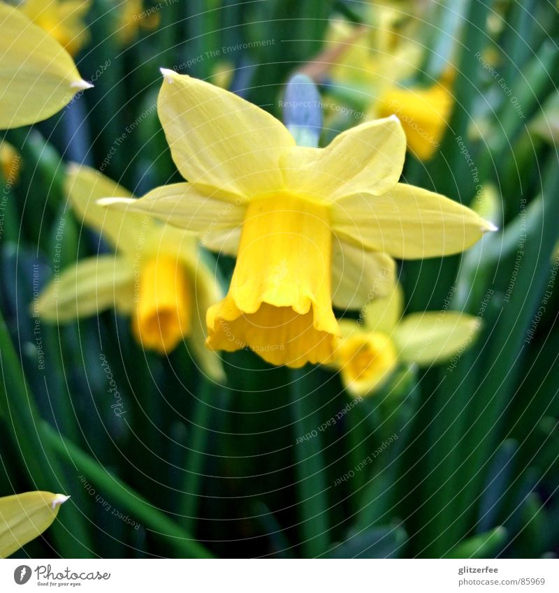 narzisschen III grün gelb Frühling orange Beet Fee Zwiebel April Auferstehung Narzissen Gelbe Narzisse