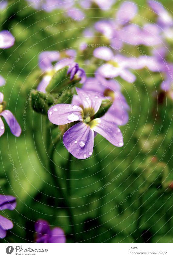 Von nebenan Natur schön Blume Wiese Blüte Garten klein Wassertropfen violett Wunder