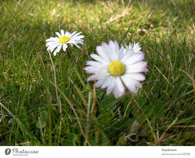 Blümchen grün Blüte Rasen Gänseblümchen Lichtspiel