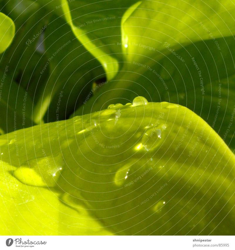 tri tra tropfner grün nass feucht Physik Sommer Frühling nah Botanik Licht Quadrat Flüssigkeit Pastellton Makroaufnahme Schatten hell liquide Nahaufnahme Kraft