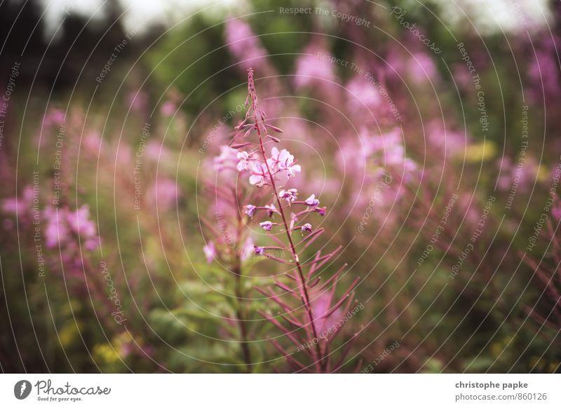 Pflanzliches II Natur Pflanze Blume Gras Sträucher Blüte Grünpflanze Wildpflanze Garten Park Wiese Blühend Unschärfe Fingerhut Farbfoto Gedeckte Farben