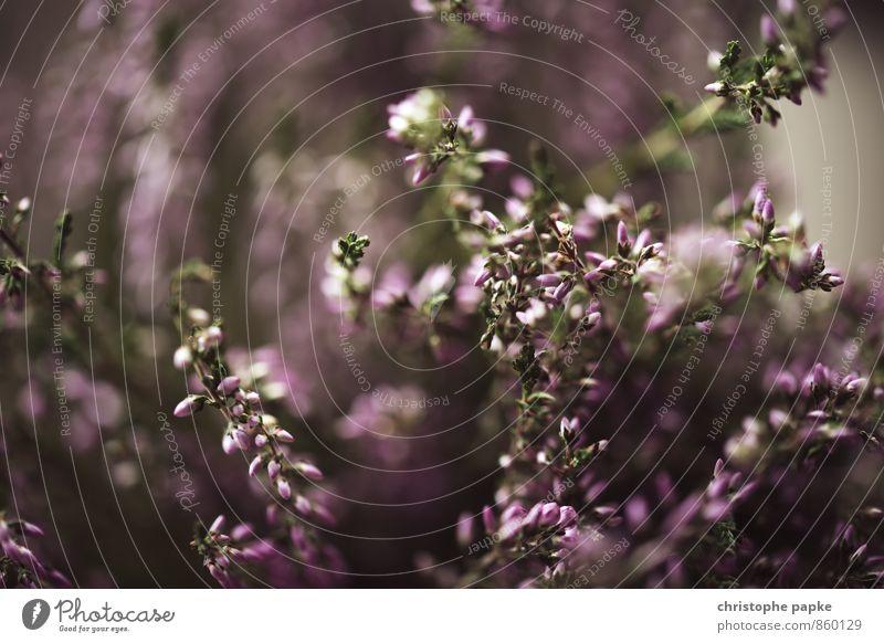 Pflanzliches Natur Pflanze Gras Sträucher Blatt Blüte Grünpflanze Wildpflanze Blühend natürlich Lavendel Blütenknospen Unschärfe Farbfoto Gedeckte Farben