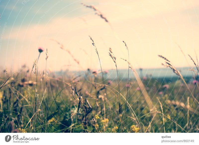 Sommerwiese Natur Ferien & Urlaub & Reisen blau Pflanze schön grün Sommer Erholung Blume Landschaft Ferne Umwelt gelb Wärme Wiese Gras