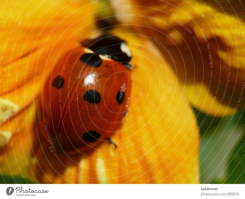 Marienkäfer gelb rot Glücksbringer Makroaufnahme Käfer orange Nahaufnahme Punkt Veilchengewächse beetle
