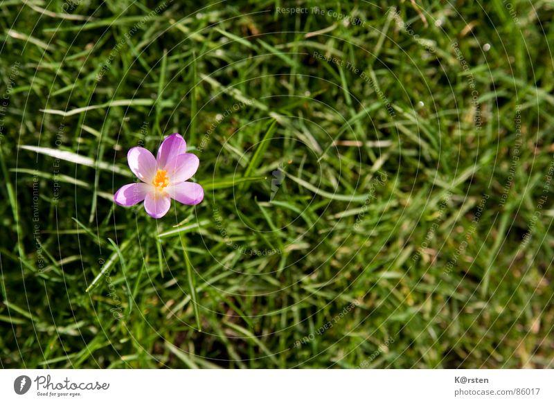 Sonnenfreunde Krokusse Gras Blüte grün Zärtlichkeiten Frühling gelb strahlend Einsamkeit Außenaufnahme Wiese Grasnarbe Pollen Rasen Natur Garten in voller blüte