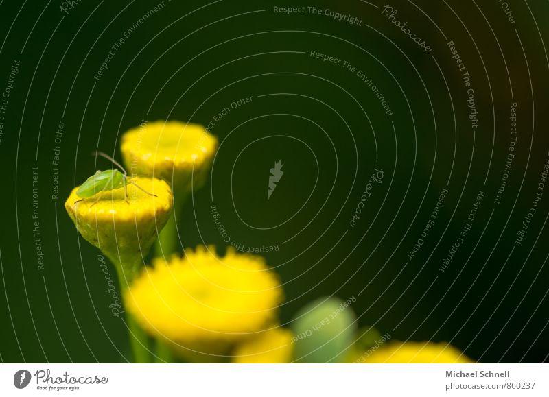 Kleines Insekt Natur Pflanze grün Blume ruhig Tier gelb Tierjunges Blüte klein oben niedlich Warmherzigkeit Lebensfreude Duft