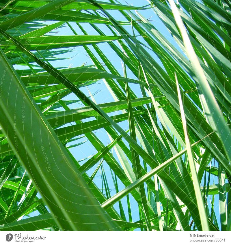 auf der Lauer ... Palmenwedel grün Gras Wiese Perspektive Halm Froschperspektive Umwelt verjüngen frisch klein Quadrat Sommer auf der lauer Natur Himmel Spitze