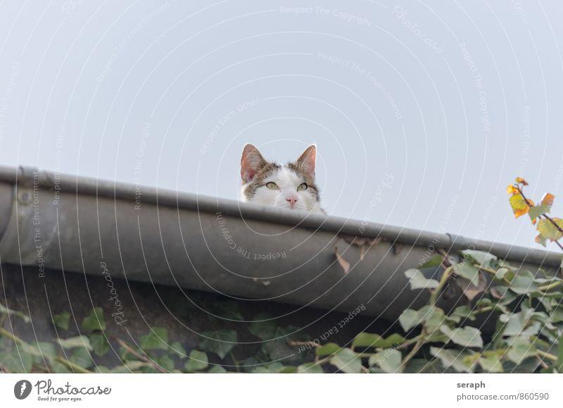 Lauern Tier Beautyfotografie Katze niedlich fauna Himmel Dachterrasse Erkenntnis heimisch beobachten Haustier schön Pelzmantel pussy furry Katzenbaby Säugetier
