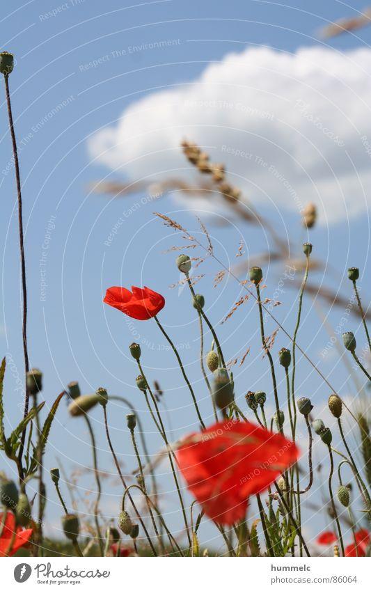 Blumen Himmel grün blau Pflanze rot Wolken