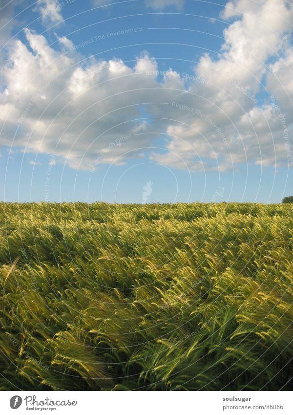 gerstenfeld und wolkenmeer Himmel Natur grün Pflanze Sommer Wolken Umwelt Feld Gerste
