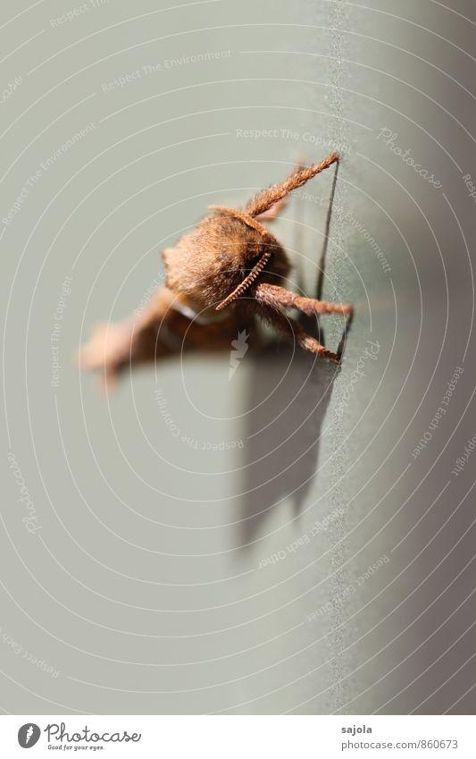 auf die plätze, fertig, los Tier Wildtier Schmetterling Motte 1 sitzen warten Fühler Tiergesicht tierisch Startstellung triodia sylvina Ampfer-Wurzelbohrer