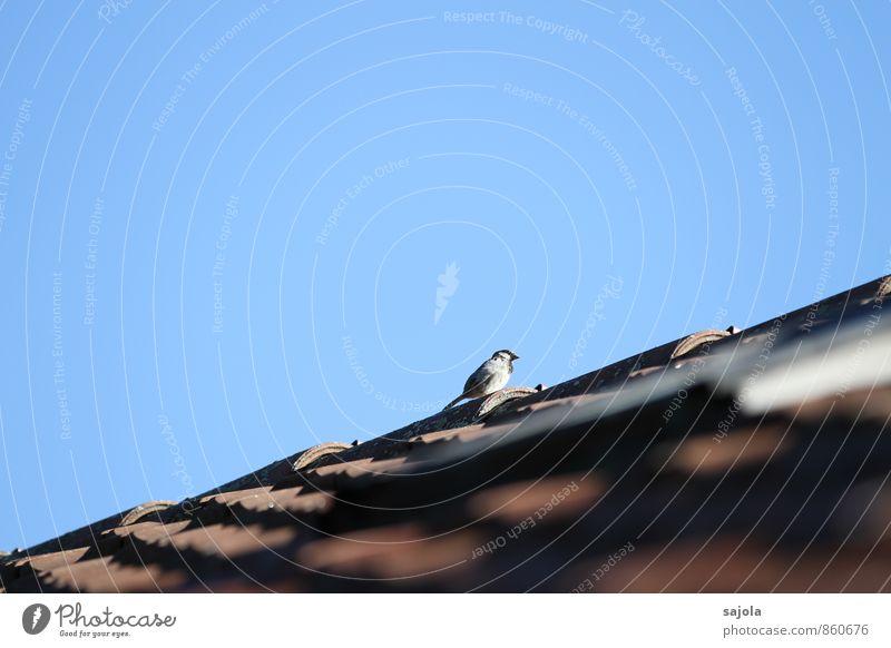 der spatz pfeift's vom dach Haus Dach Tier Himmel Wolkenloser Himmel Wildtier Vogel Spatz 1 beobachten sitzen blau Dachziegel Dachfirst hoch oben Sonnenbad