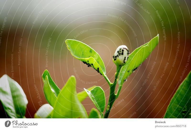 Befall Natur Pflanze grün Blatt Tier Blüte krabbeln Schwarm Ekel Grünpflanze Wildpflanze Blattläuse