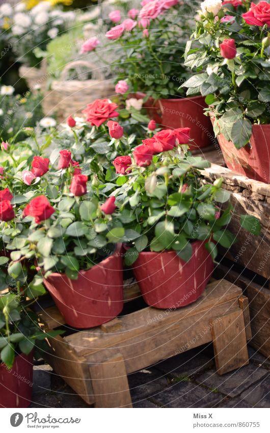 Rosen kaufen Dekoration & Verzierung Valentinstag Muttertag Blume Blüte Topfpflanze Marktplatz Duft rot Gefühle Liebe Verliebtheit rote Rose Rosenstock