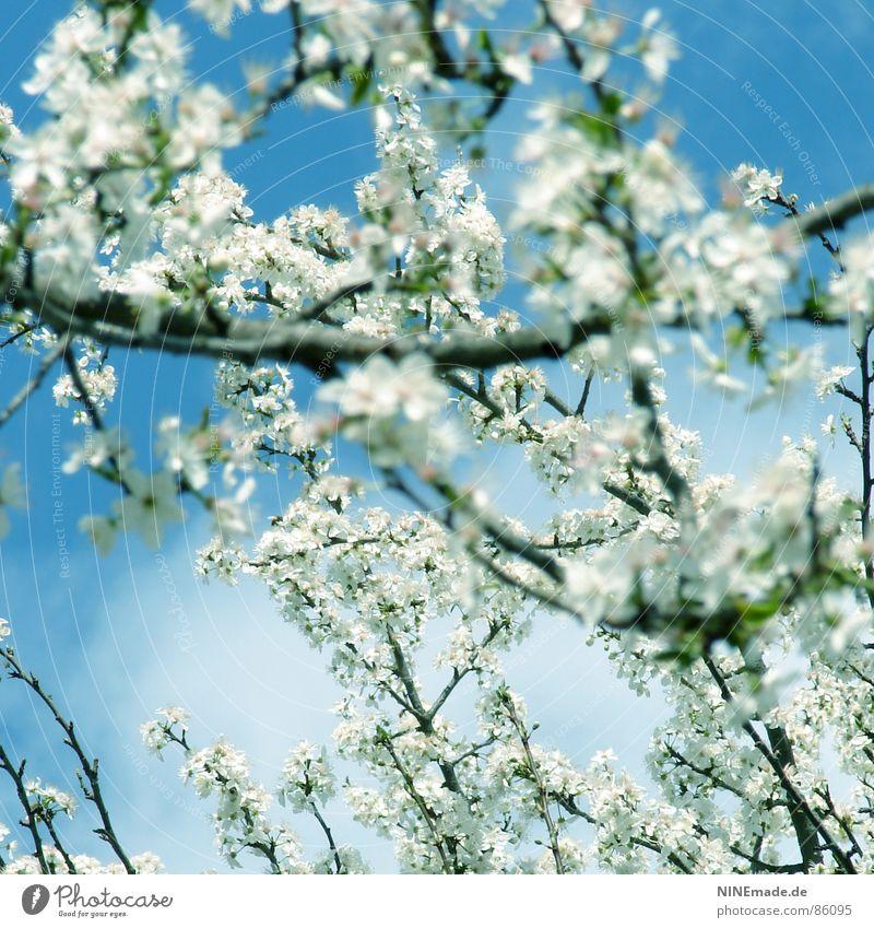 Der Frühling kommt ... Natur weiß Blüte Garten Glück Stimmung Park Wärme Frucht Fröhlichkeit Klima Physik Ast Quadrat Ambiente
