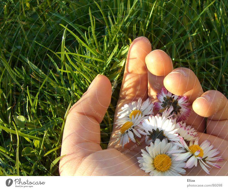 Eine Hand voller Gänseblümchen in der grünen Wiese im Sommer oder Frühling Sonne pflücken gepflückt Finger Blume Pflanze Schönes Wetter Gras Blüte festhalten